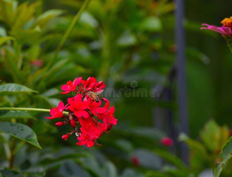 蜂蜜蜂(Apis)在Ixora植物(Ixora coccinea) 库存图片