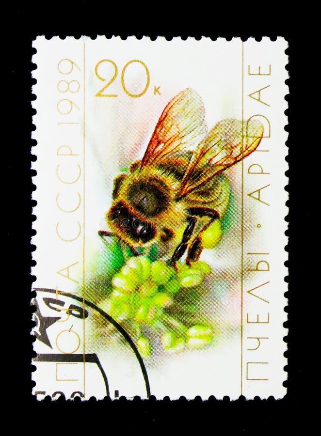 蜂蜜蜂(Apis mellifica),养蜂业serie,大约1989年 库存照片