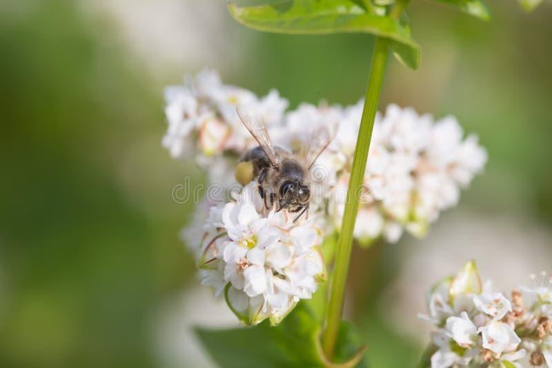 蜂蜜,秀丽,花卉,背景,瓣,白色,自然,污浊,花粉,领域,蜂花,晴朗,象鼻,惊奇,飞过 图库摄影