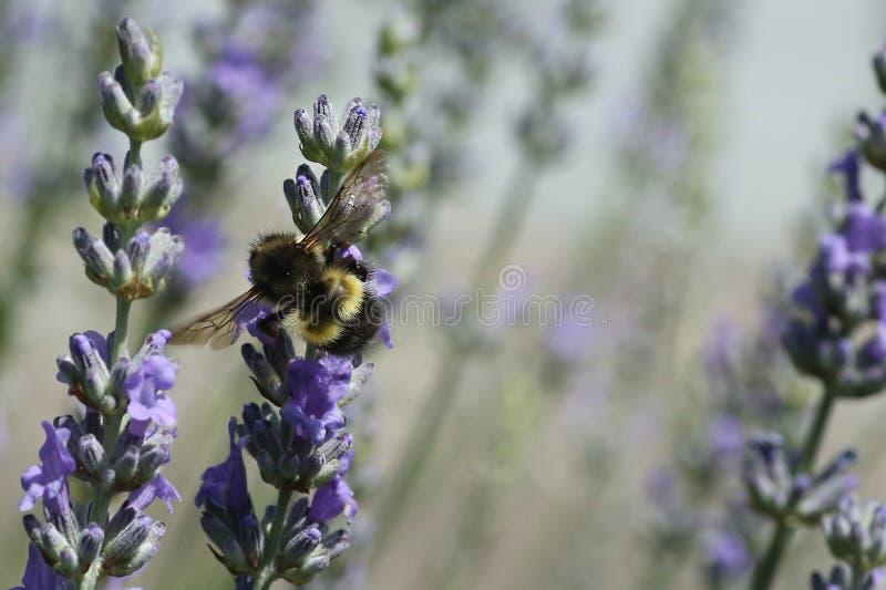 蜂详述蜂蜜查出的宏指令被堆积的非常白色 图库摄影