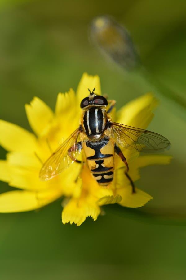 黄蜂飞行 库存照片