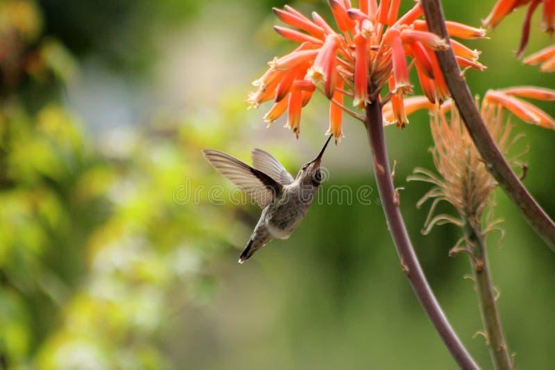 蜂鸟和芦荟 库存照片