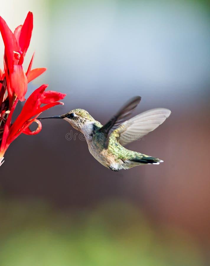 蜂鸟和Cana百合 图库摄影
