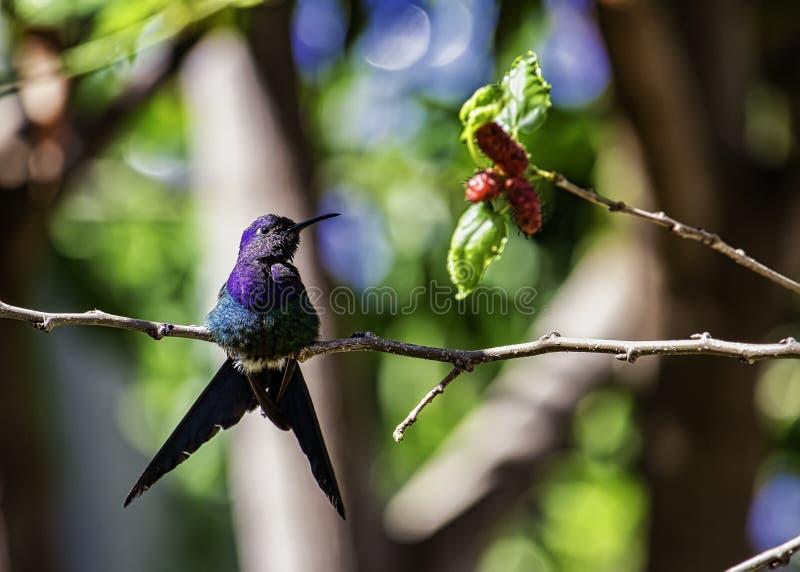 蜂鸟在桑树的Eupetomena macroura 免版税库存图片