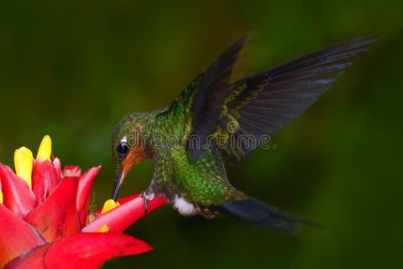 蜂鸟在深绿森林,蜂鸟绿色加冠了精采, Heliodoxa jacula,从哥斯达黎加飞行的绿色鸟在旁边 免版税库存图片