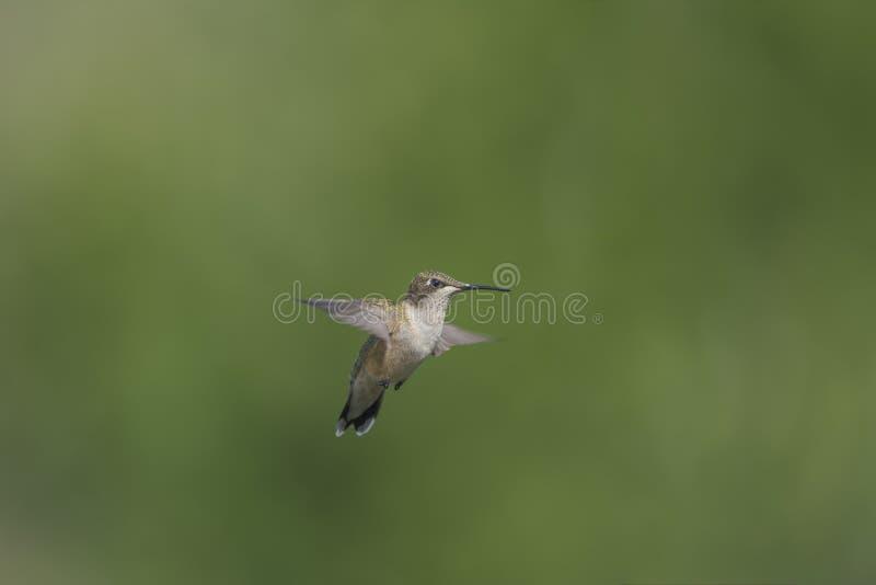 蜂鸟在飞行中与延长的翼 免版税图库摄影