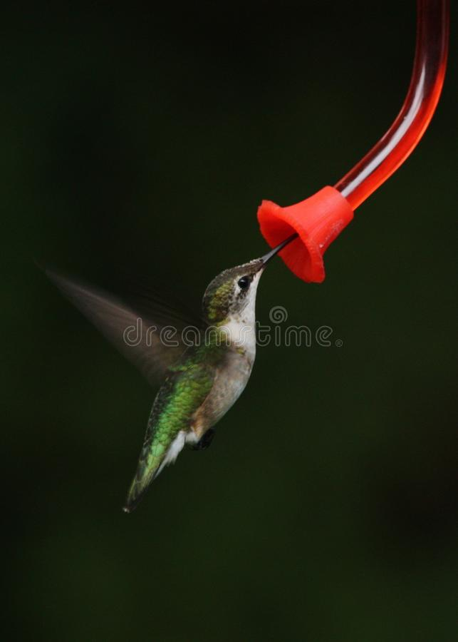 蜂鸟在飞行中在饲养者 免版税库存图片