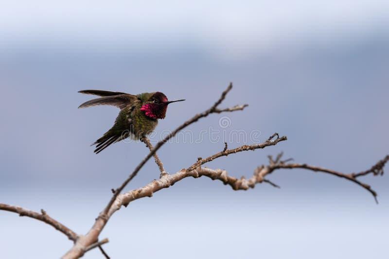 蜂鸟坐分支,拉霍亚,圣迭戈,加利福尼亚 库存照片