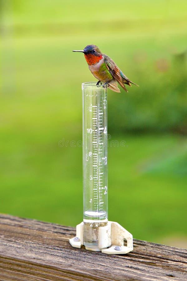 蜂鸟坐雨量计 免版税库存照片