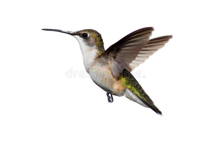 蜂鸟红喉刺莺查出的红宝石 免版税库存图片