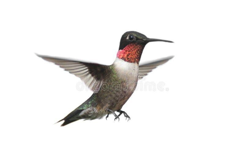 蜂鸟红喉刺莺查出的红宝石 免版税库存照片