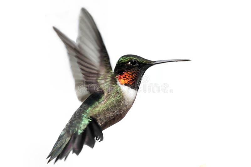 蜂鸟红喉刺莺查出的红宝石 库存照片