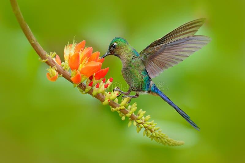 蜂鸟长尾的空气的精灵, Aglaiocercus kingi,用长的蓝色从橙色花的尾巴哺养的花蜜,美好的行动场面w 图库摄影
