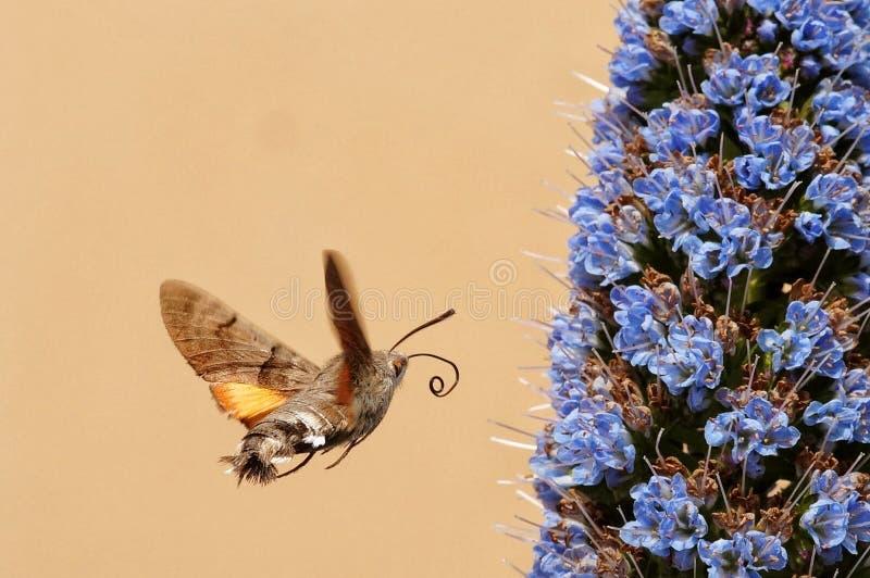 蜂鸟飞蛾 库存照片