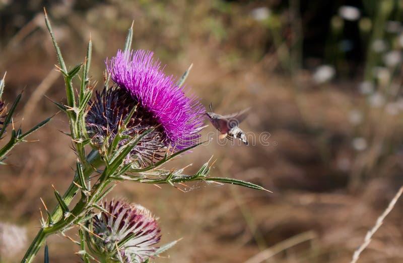 蜂鸟鹰飞蛾Macroglossum stellatarum 库存照片