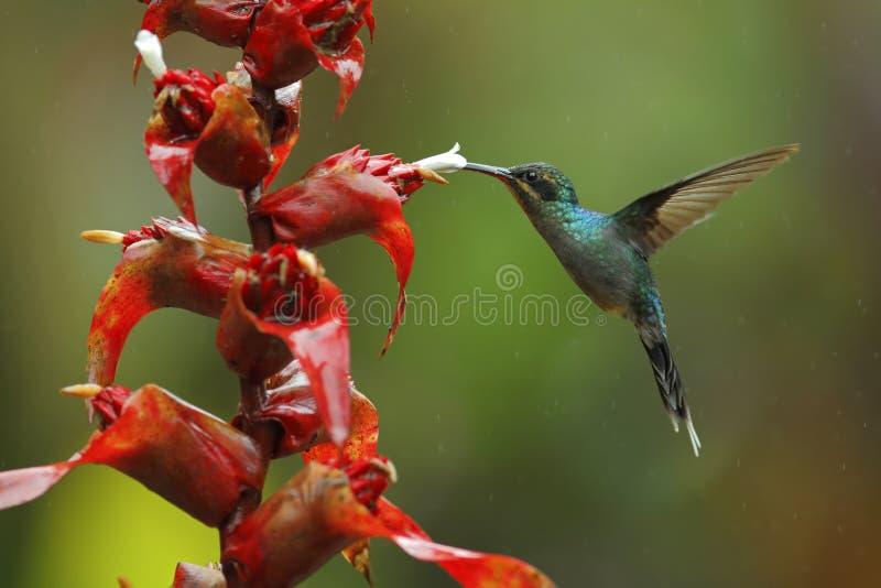 蜂鸟绿色隐士, Phaethornis人,飞行在美丽的红色花旁边有绿色森林背景,拉巴斯,山脉de 免版税库存照片
