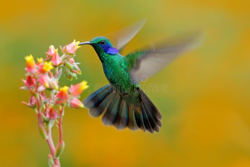 蜂鸟绿色紫罗兰色耳朵, Colibri thalassinus,在美丽的砰橙黄色花旁边的猛冲在自然生态环境,鸟从 免版税库存图片