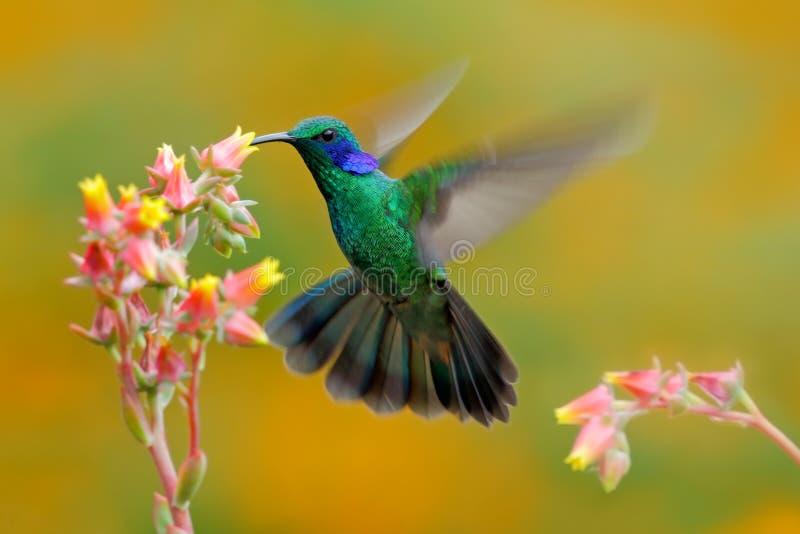 蜂鸟绿色紫罗兰色耳朵, Colibri thalassinus,在美丽的砰橙黄色花旁边的鸟猛冲在自然生态环境,鸟 免版税库存图片