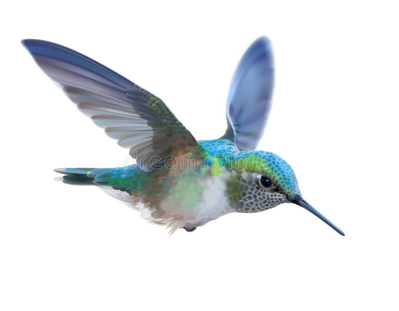 蜂鸟- Calypte安娜 向量例证
