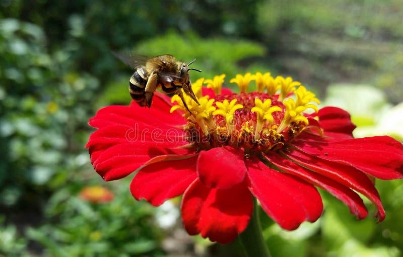 蜂,当collenekting nektar时 免版税库存照片