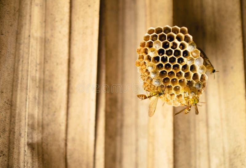 蜂,黄蜂一起修造巢,用鸡蛋填装 免版税库存图片