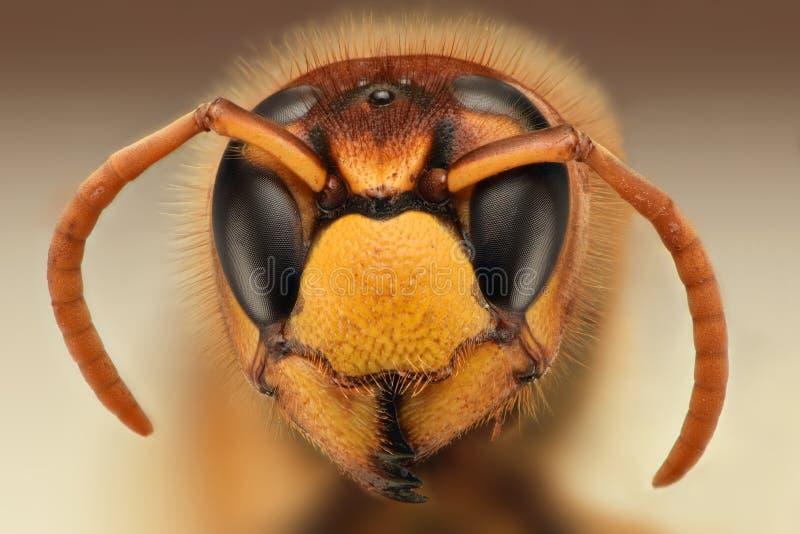 黄蜂头极端锋利的特写镜头  免版税库存图片