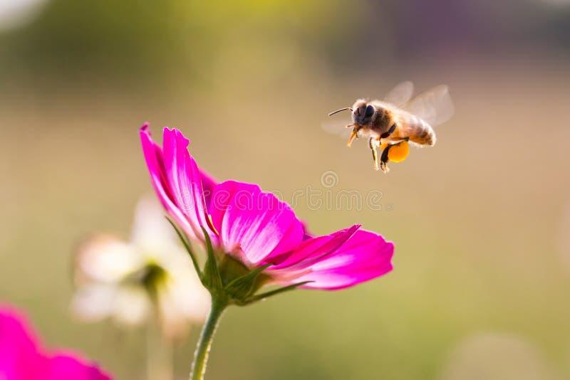 蜂从波斯菊的聚集蜂蜜 免版税库存照片
