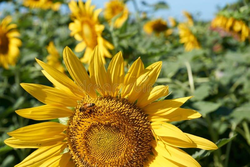 蜂从黄色向日葵收集花粉 库存照片