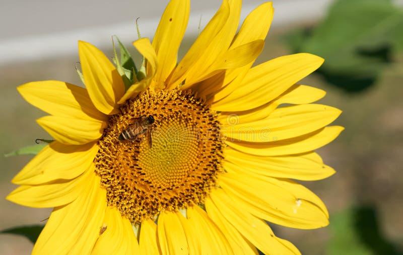 蜂从黄色向日葵收集花粉 图库摄影