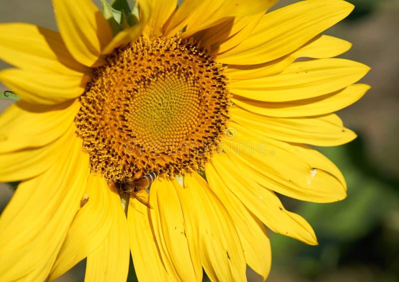 蜂从黄色向日葵收集花粉 库存图片