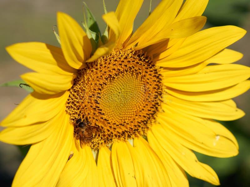 蜂从黄色向日葵收集花粉 免版税库存图片