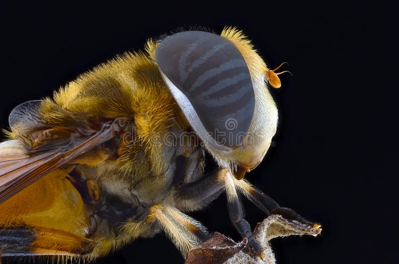 蜂 免版税图库摄影