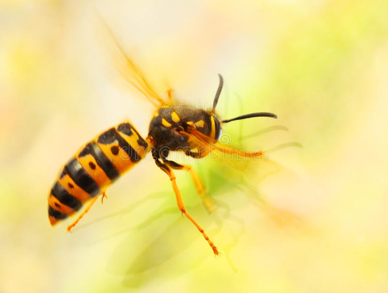 黄蜂-群居黄蜂germanica飞行 wasp€s有刺的动物包含毒液that€s被
