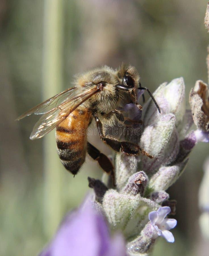 蜂(Anthophila) 图库摄影