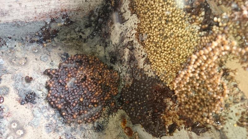 蜂apis trigona 免版税库存照片