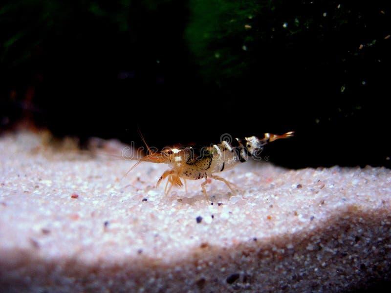 蜂cantonensis caridina虾 免版税图库摄影