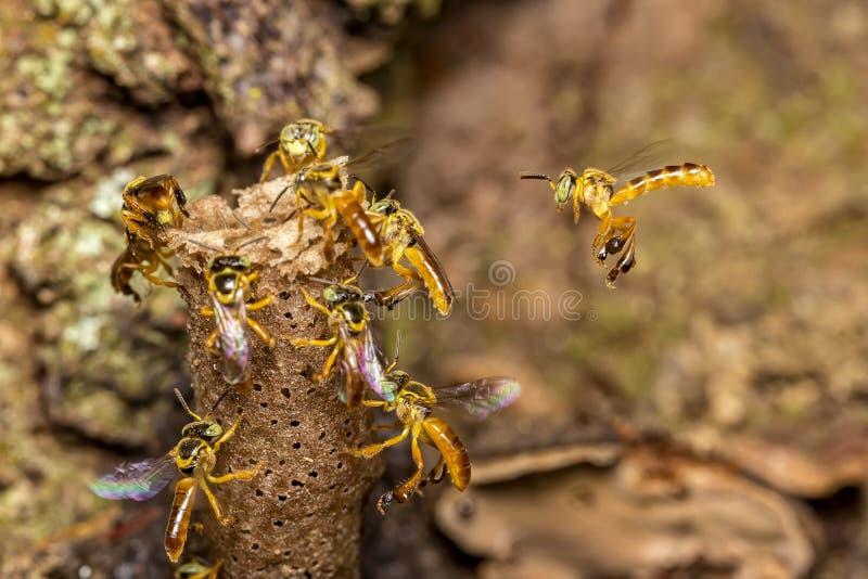 蜂Tetragonisca angustula殖民地宏观照片-蜂Jatai/Tetragonisca angustula 免版税库存照片
