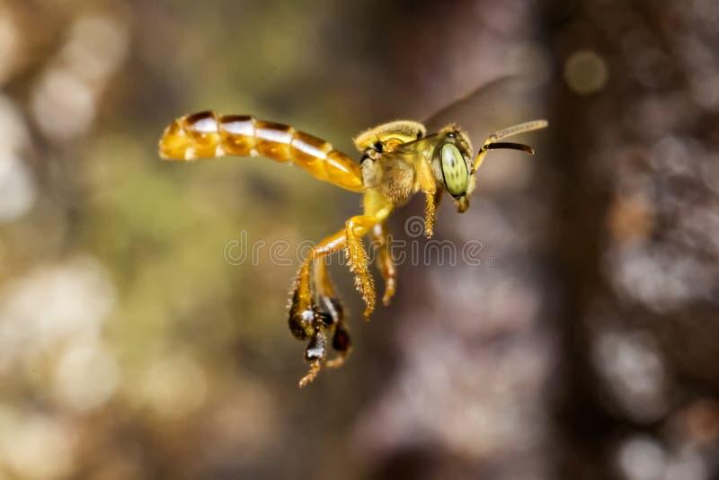 蜂Tetragonisca angustula飞行宏观照片-蜂JataÃ-/Tetragonisca angustula 免版税库存照片