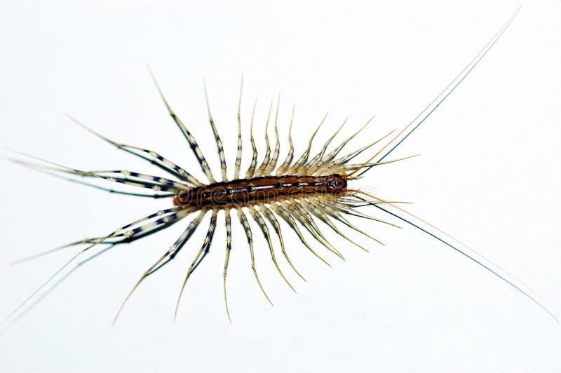 蜈蚣 免版税图库摄影