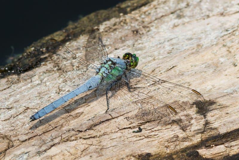 蜻蜓东部pondhawk 库存图片