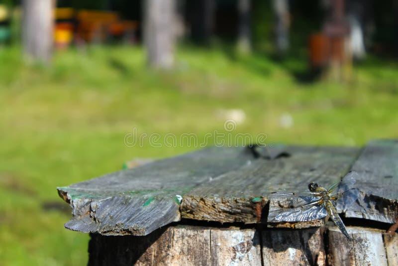 蜻蜓在树背景中坐一个长木凳  库存照片