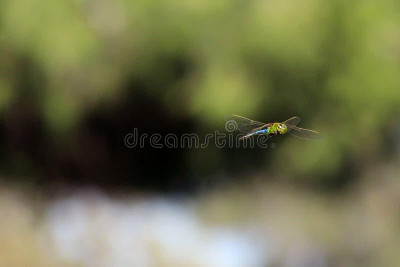 蜻蜓在空中的被捉住的飞行 图库摄影