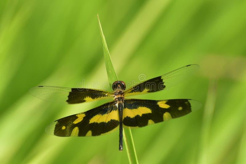 蜻蜓在自然绿色背景中 免版税图库摄影