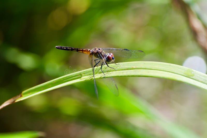 蜻蜓在草叶栖息 免版税库存照片