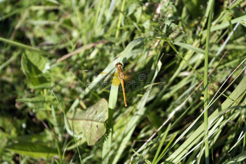 蜻蜓坐一片叶子在夏天薹草甸 库存图片