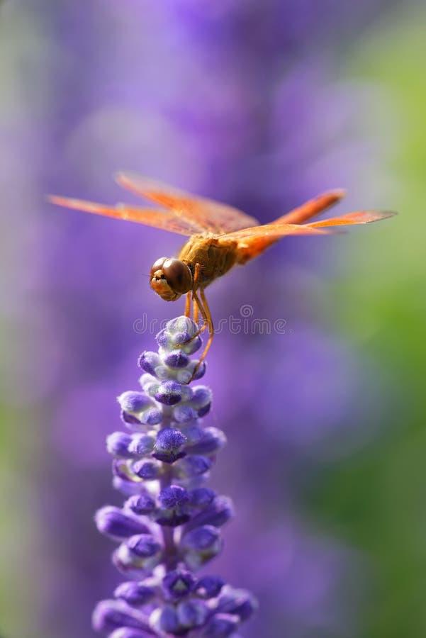 download 蜻蜓基于淡紫色花 库存图片.图片