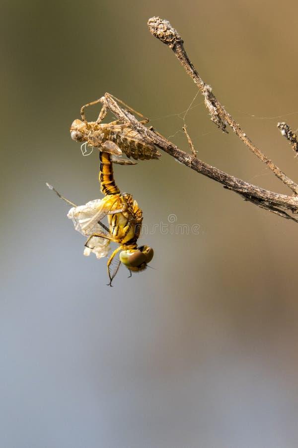 蜻蜓幼虫的图象在自然背景烘干了 库存照片