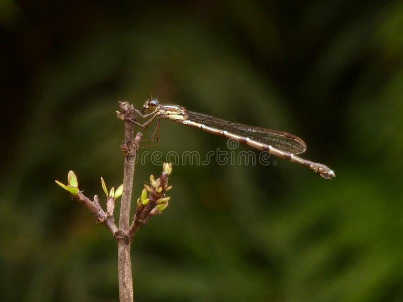 蜻蜓枝杈 库存图片