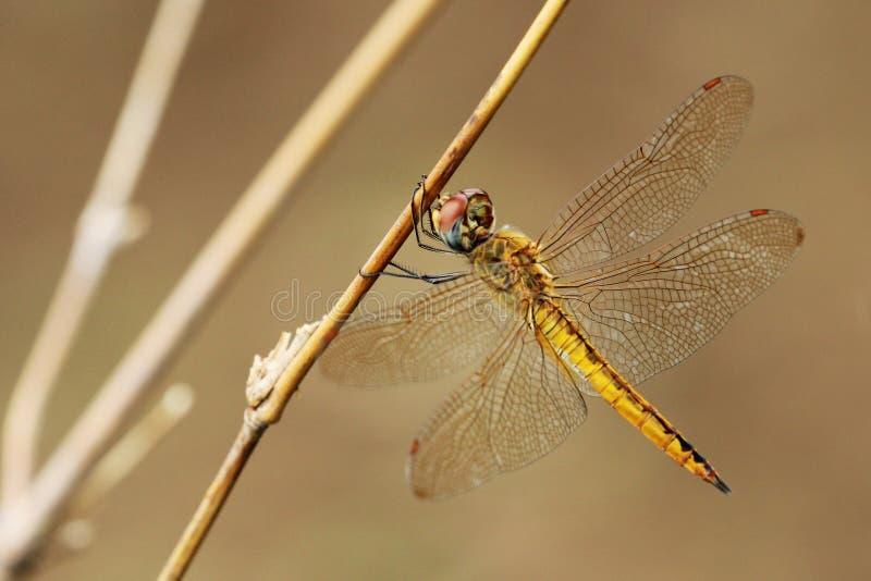 蜻蜓的图象 免版税库存图片