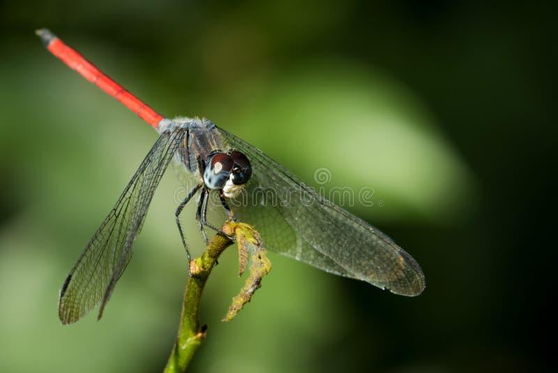 蜻蜓的图象 库存照片